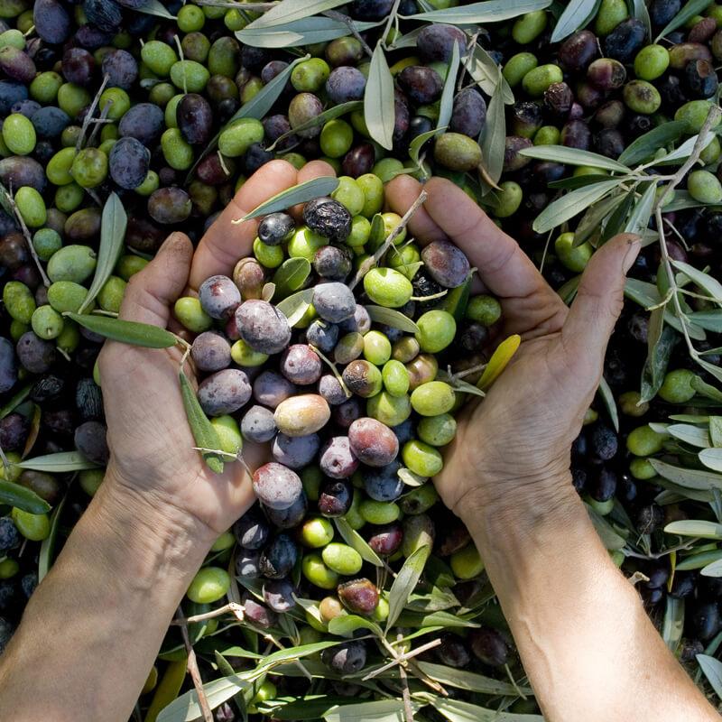 Aceitunas recolectadas de un olivar