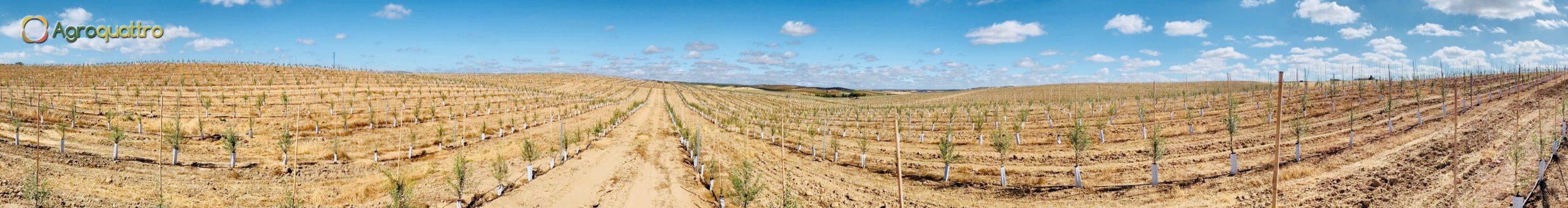 Plantación de olivar en seto en España