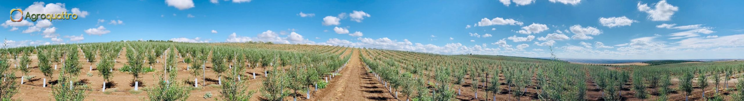 Plantación de olivar en seto en Portugal